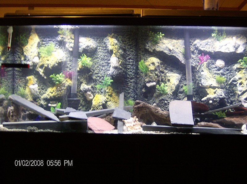 Aquarium Backgrounds 55 Gallon Awesome Cichlids Tank Examples My 55 Gallon Mbuna Tank with
