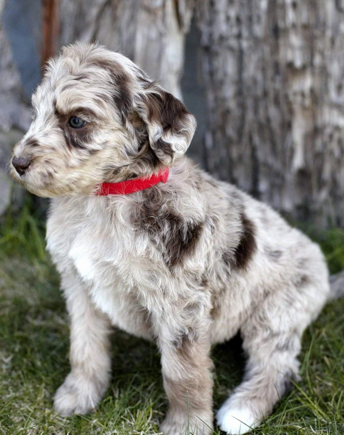 Breeding Contracts for Puppies Elegant Puppy Contract & Guarantee Aussiedoodle and Labradoodle