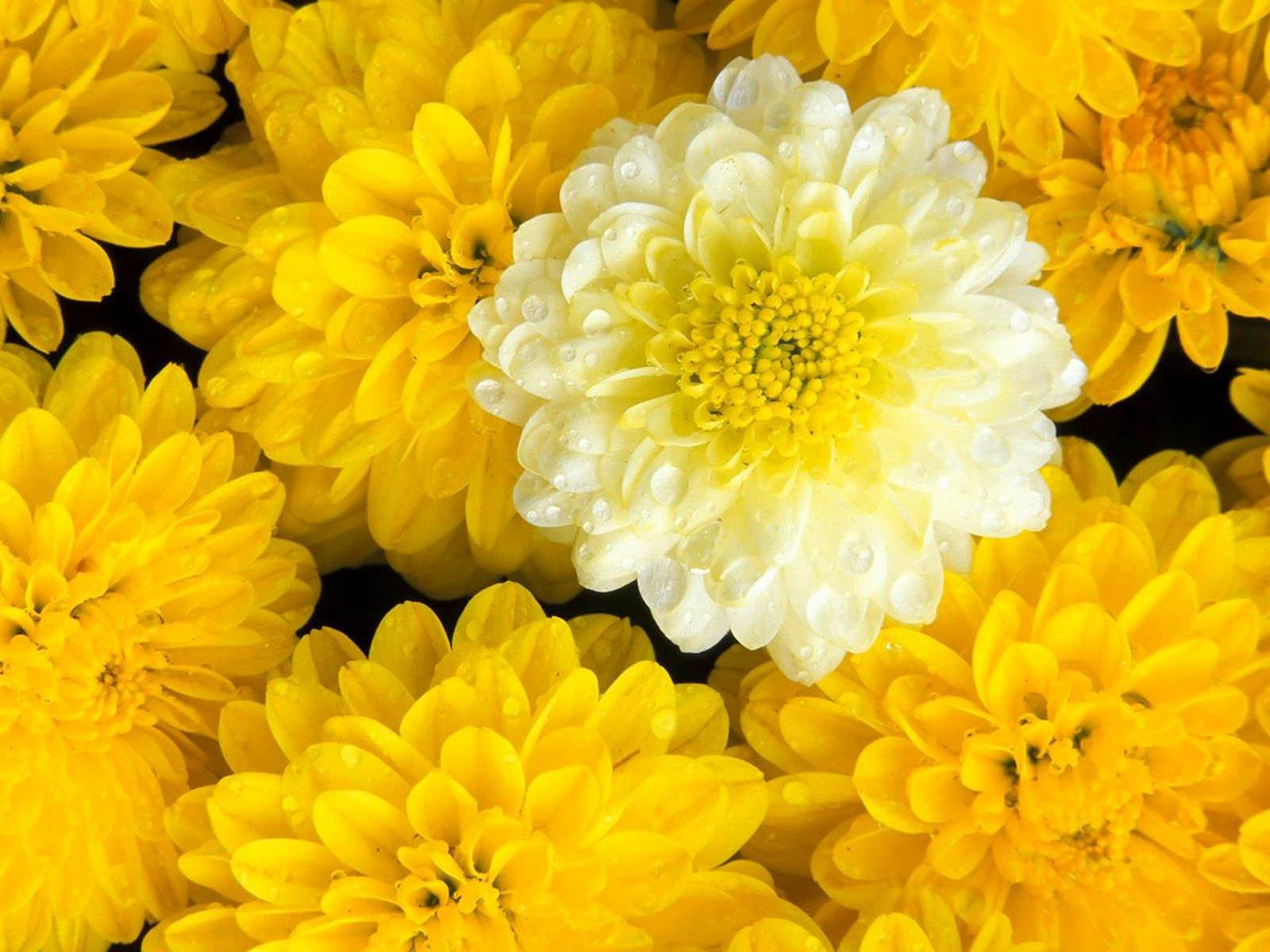Free Flower Desktop Wallpaper Elegant Wallpapers Marigold Flowers Wallpapers