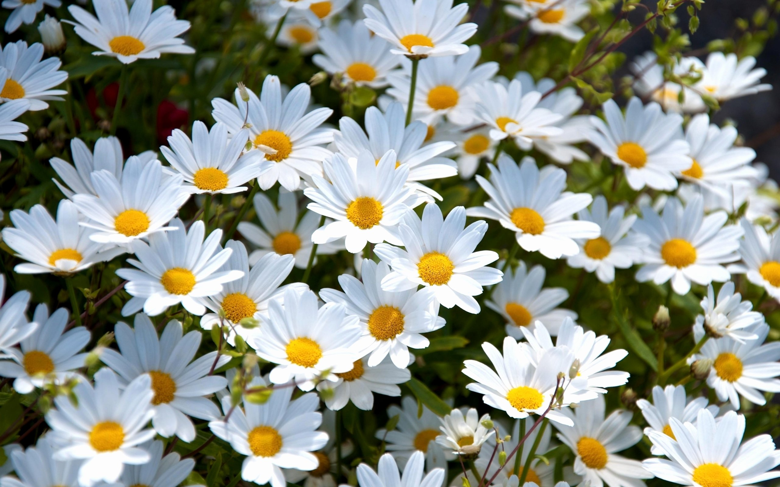 Free Flower Desktop Wallpaper Fresh Daisy Wallpaper High Quality
