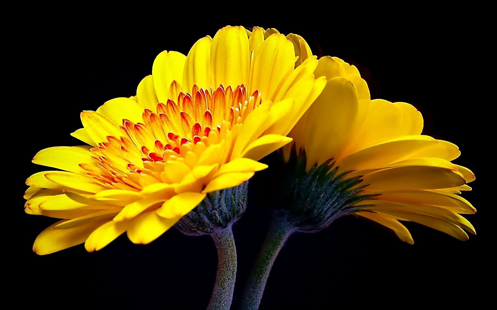 Free Flower Desktop Wallpaper Inspirational Wallpapers Gerbera Flowers Wallpapers