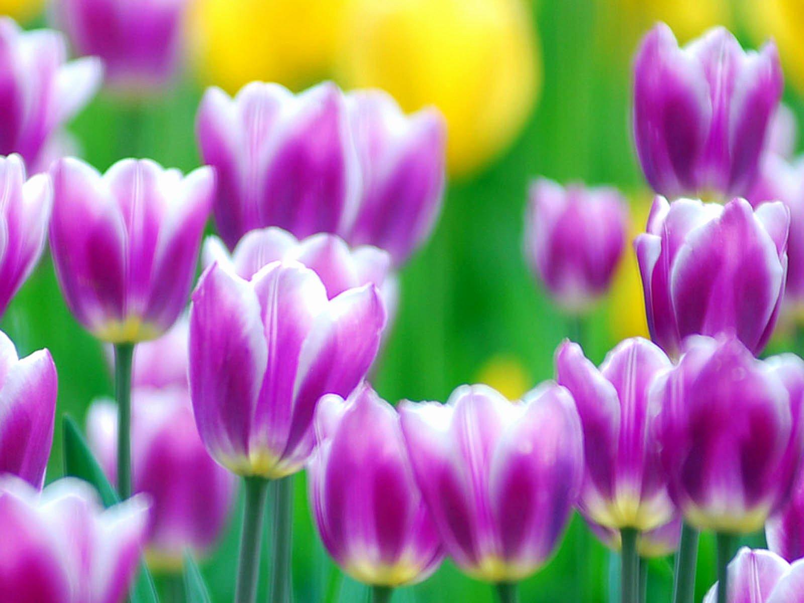 Free Flower Desktop Wallpaper Inspirational Wallpapers Purple Tulips Flowers Wallpapers