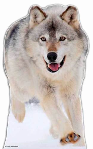 Large Farm Animal Cutouts Elegant Wolf Lifesize Cardboard Cutout Standee