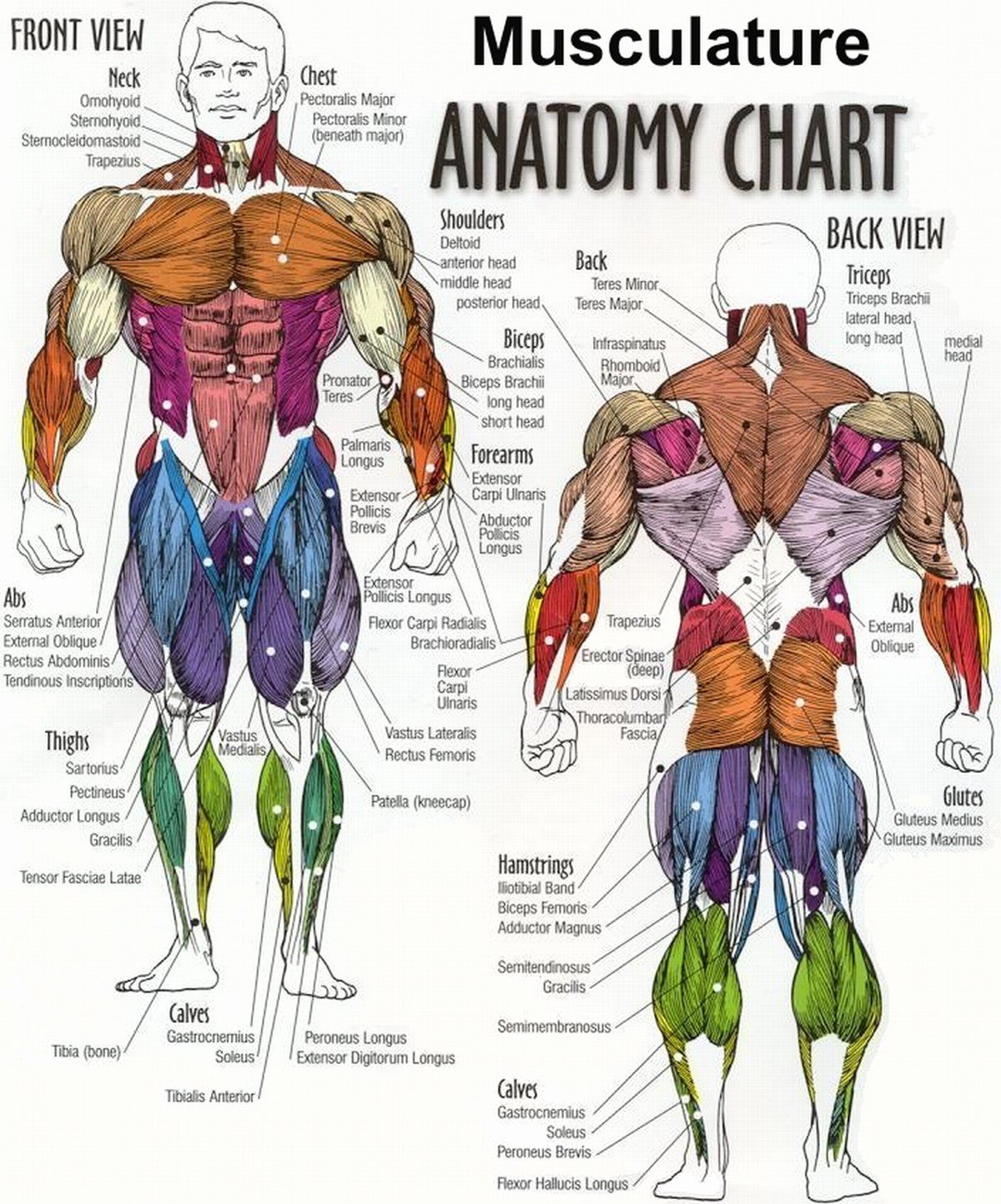 Muscle Anatomy Chart Awesome True Natural Bodybuilding All Exercises Of the Training