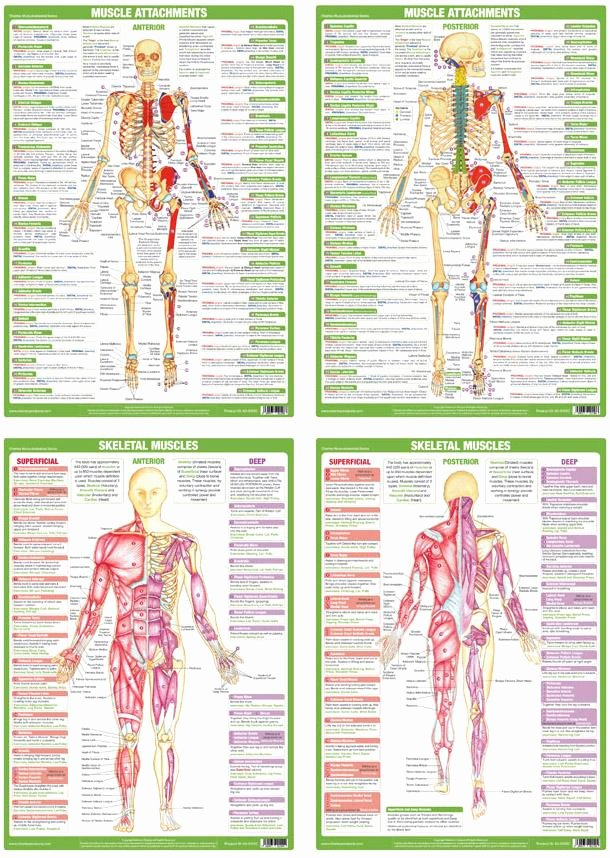 Muscle Anatomy Chart Beautiful Muscle Anatomy Posters Charts