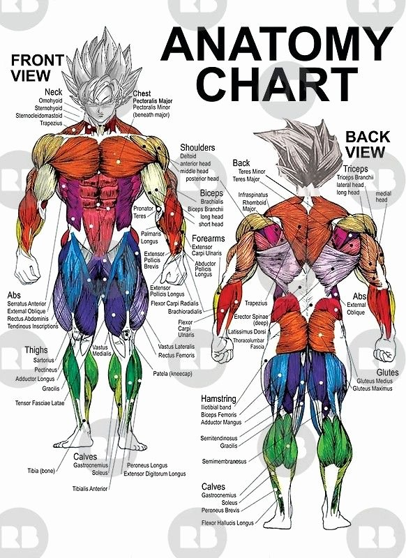 Muscle Anatomy Chart Best Of 'exercise Muscle Guide Anatomy Chart Super Ss' Poster