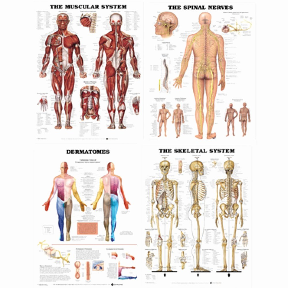 Muscle Anatomy Chart Best Of Laminated Chart Bundle Muscular Skeletal Dermatomes