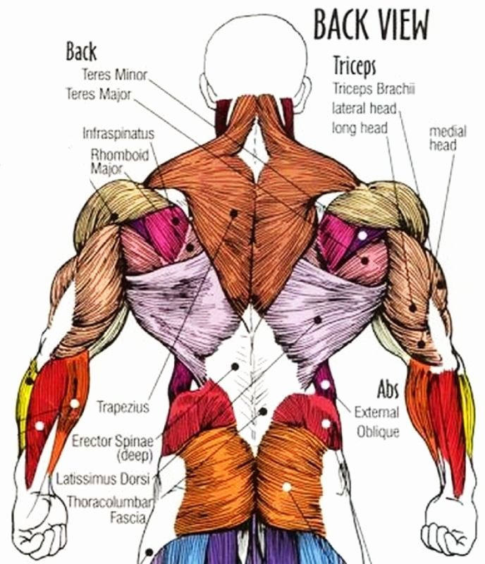 Muscle Anatomy Chart Best Of Six Tips for Plete Back Development — Spring Hill