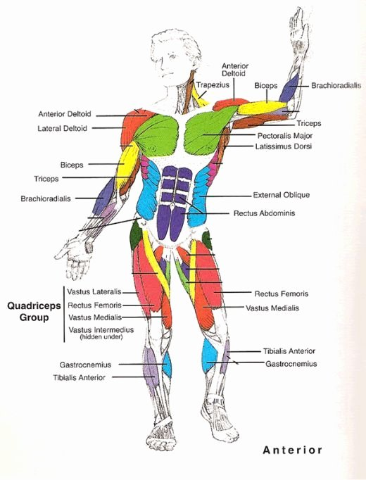 Muscle Anatomy Chart Elegant Muscles Diagrams Diagram Of Muscles and Anatomy Charts
