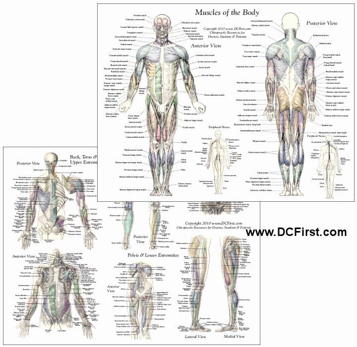Muscle Anatomy Chart Fresh Muscle Anatomy Chart