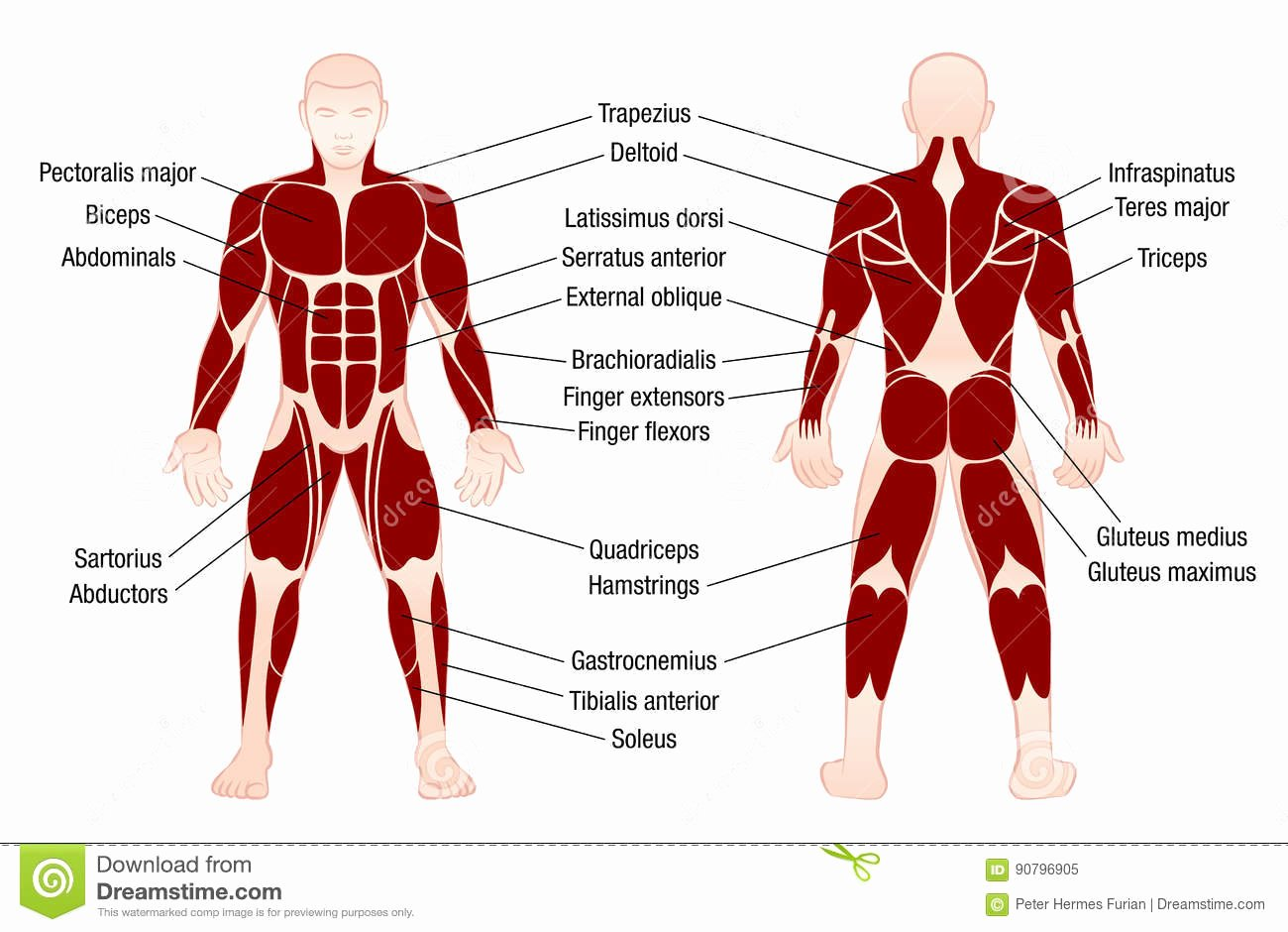 Muscle Anatomy Chart Fresh Muscles Chart Description Muscular Body Man Stock Vector