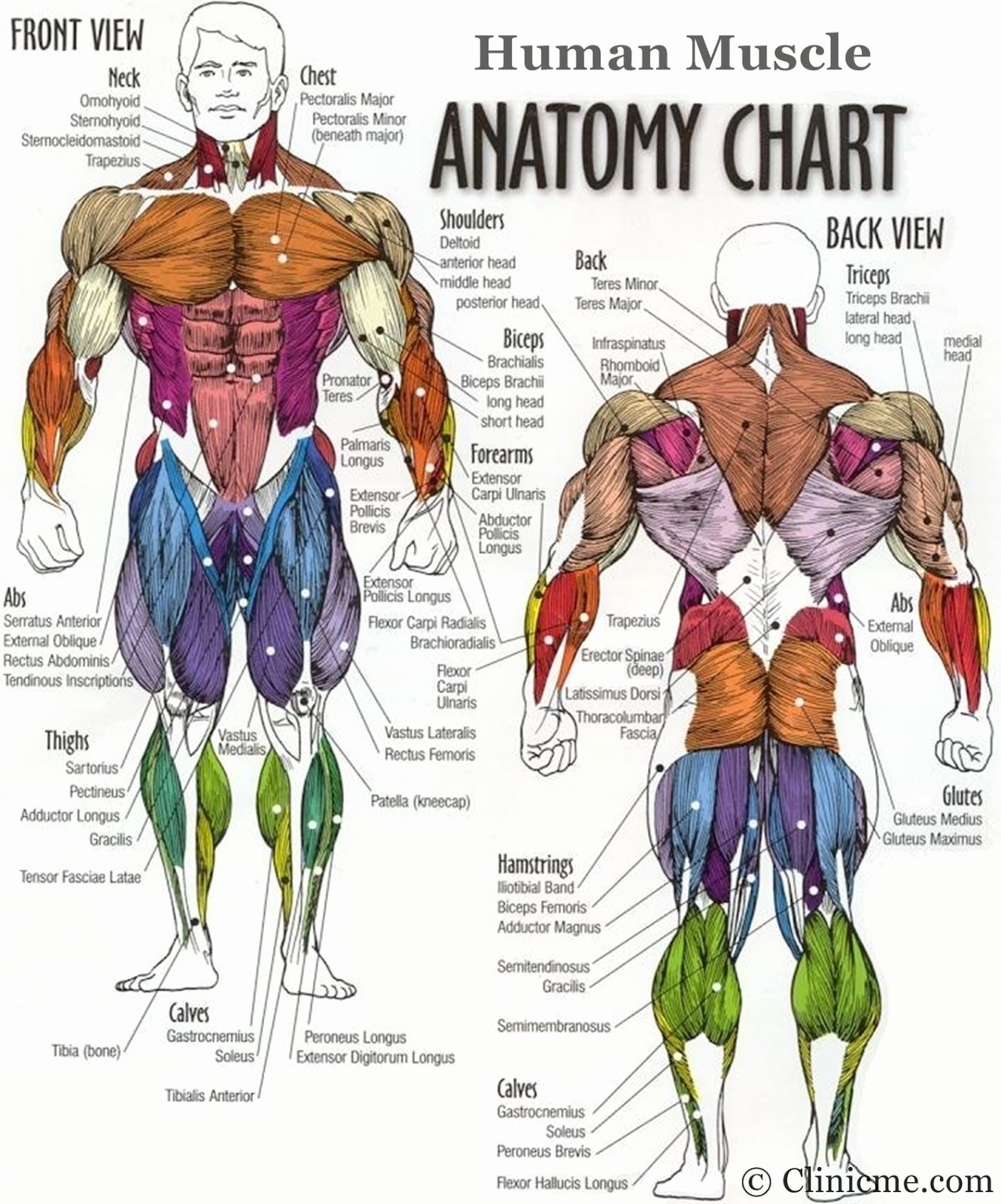 Muscle Anatomy Chart Inspirational Body Muscle Groups Diagram Diagram Body Muscles Human