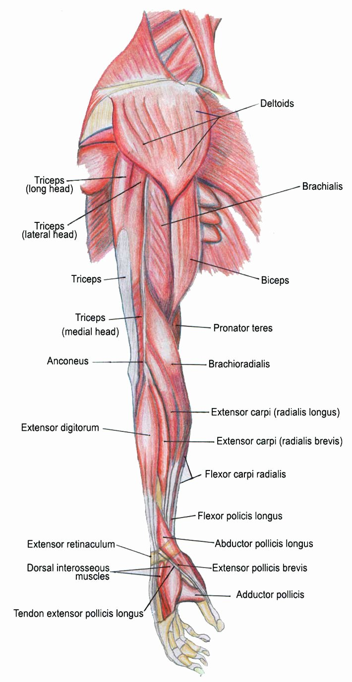 study parts of your muscle