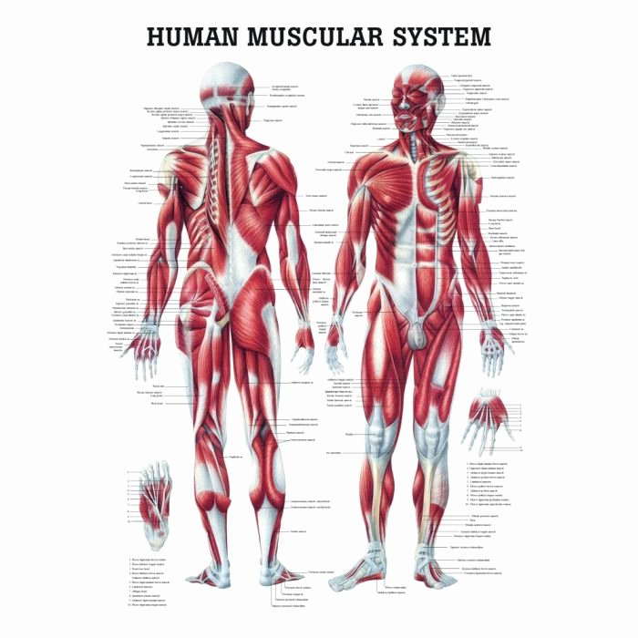 Muscle Anatomy Chart Inspirational the Human Muscular System Laminated Anatomy Chart