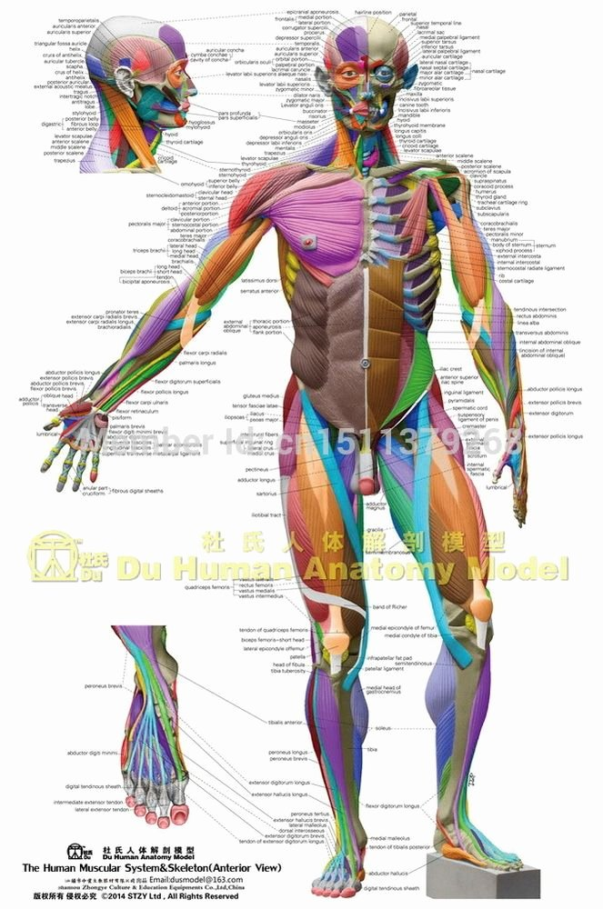 Muscle Anatomy Chart Lovely Anatomical Chart Muscular System Different Colors Ecorche