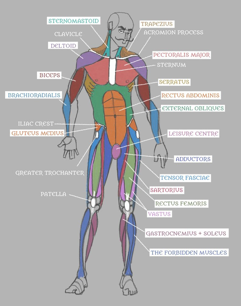 Muscle Anatomy Chart Luxury Human Anatomy Muscles with Labels by Pseudolonewolf On