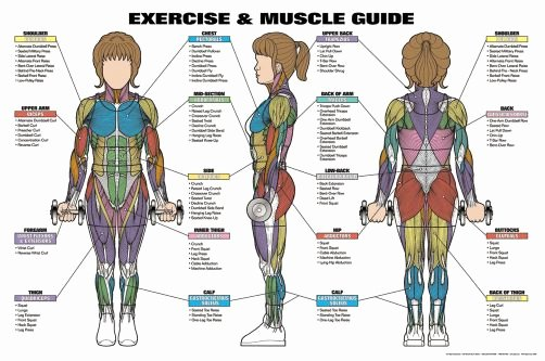 Muscle Anatomy Chart Luxury Women S Exercise and Muscle Guide Professional Fitness