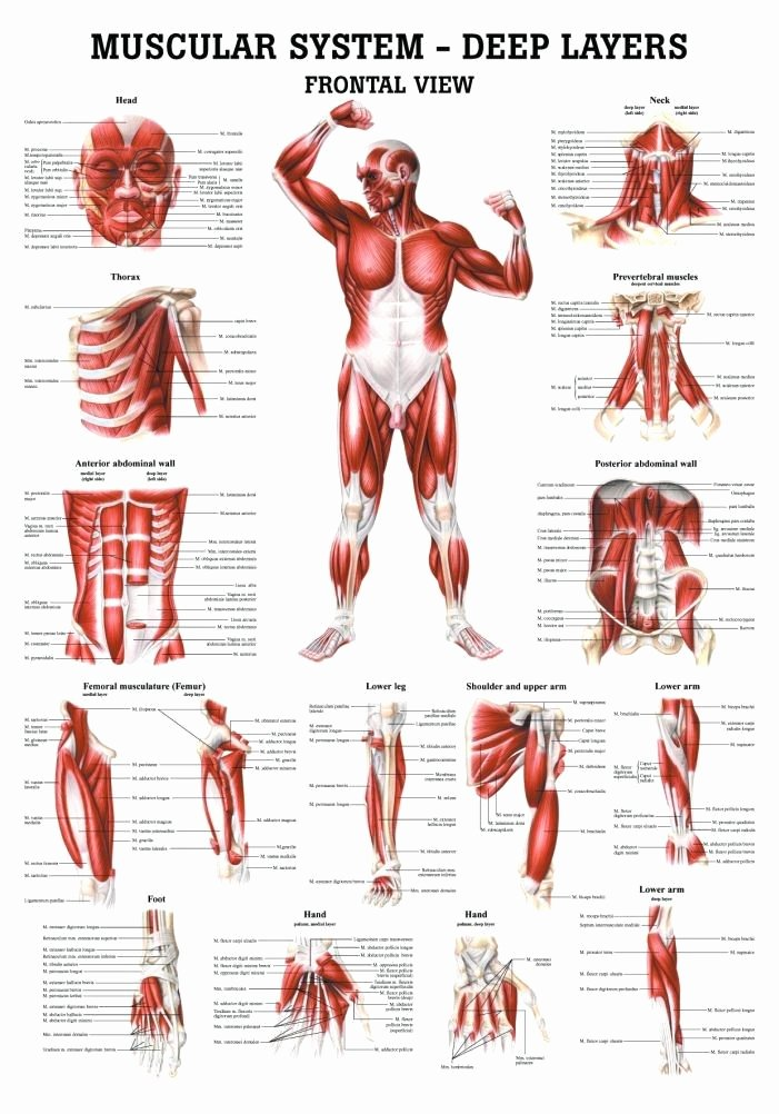 Muscle Anatomy Chart New 33 Best the Back Anatomy Images On Pinterest