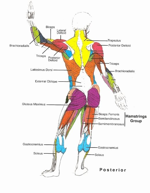 Muscle Anatomy Chart New Muscles Diagrams Diagram Of Muscles and Anatomy Charts