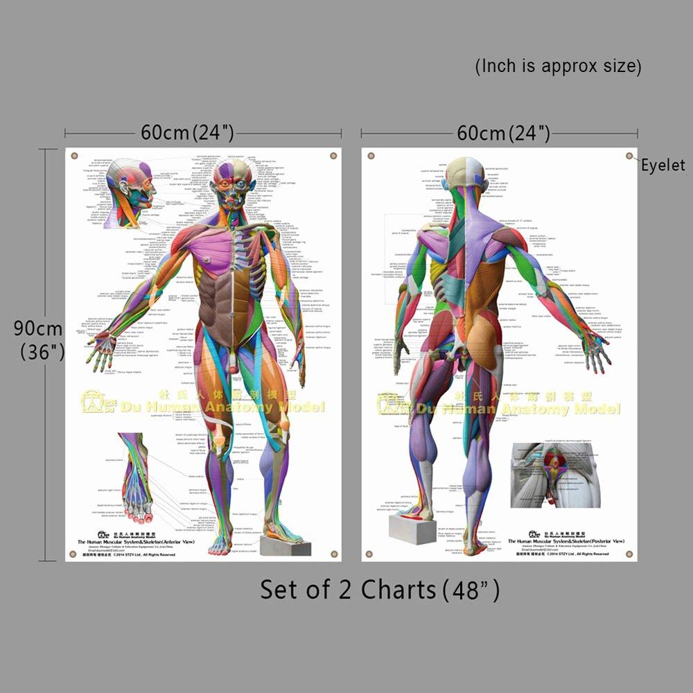 "Muscle Anatomy Chart New Muscular Anatomical Chart Giant 64""48""36""24muscle"