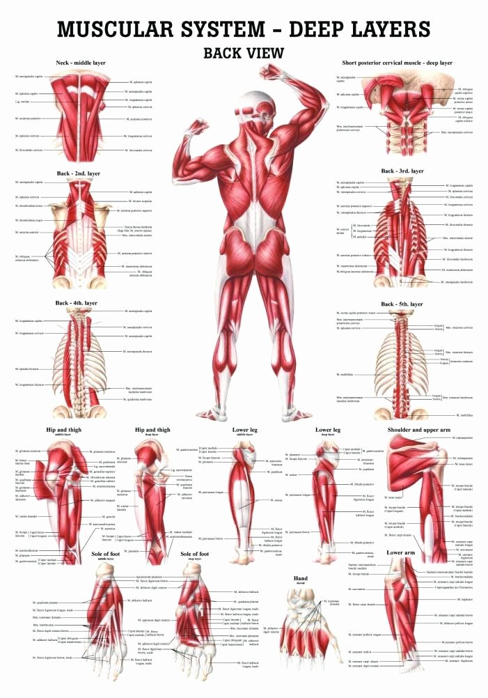 Muscle Anatomy Chart New the Muscular System Deep Layers Back Laminated Anatomy