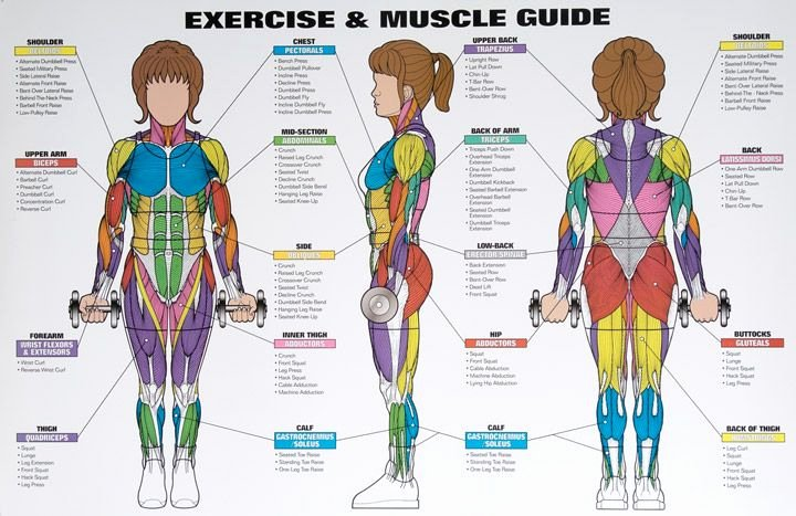 Muscle Anatomy Chart Unique Best Exercises Tar Ing Each Muscle Group