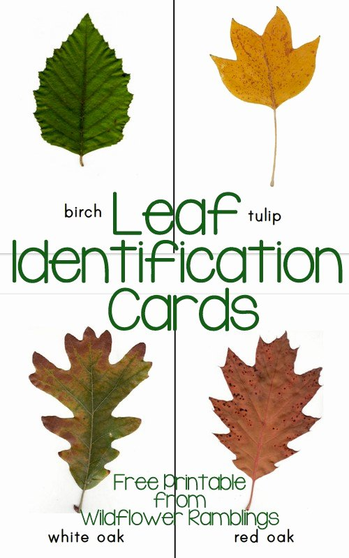 Print Id Cards Online Free Beautiful Free Printable Leaf Identification Cards