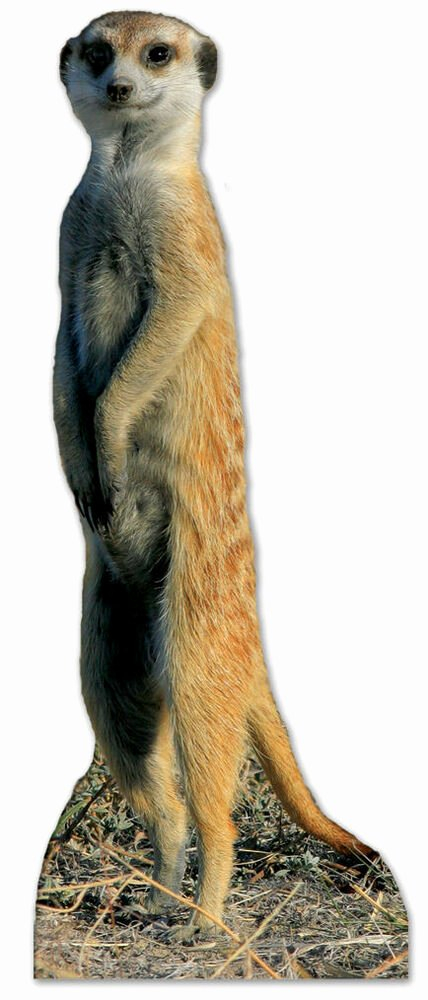Safari Animal Cutouts Free Elegant Meerkat Lifesize Cardboard Cutout Standee Cute Animal